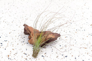 Wholesale - Tillandsia Juncea Air Plants