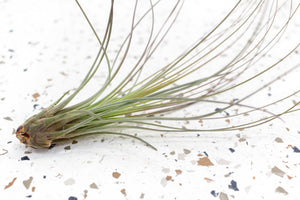 Packs of 10 or 20 Jumbo Tillandsia Juncea Air Plants - Save Up to 60%