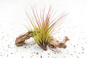 Pack of 5 or 10 Large Tillandsia Melanocrater Tricolor Air Plants - Save up to 60%