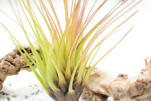 Wholesale - Tillandsia Melanocrater Tricolor Air Plants