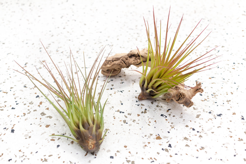Pack of 5 or 10 Tillandsia Melanocrater Tricolor Air Plants - Save up to 60%
