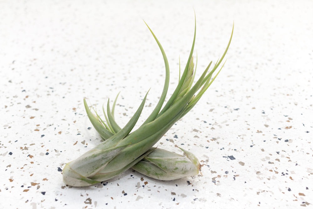 Wholesale - Tillandsia Circinata 'Paucifolia' Air Plants