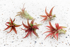 Packs of 10, 20 or 30 Tillandsia Brachycaulos Red Abdita Air Plants - Save 60%