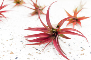Air Plant Combination of 5 Classic Air Plants