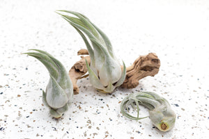Tillandsia Seleriana Air Plants