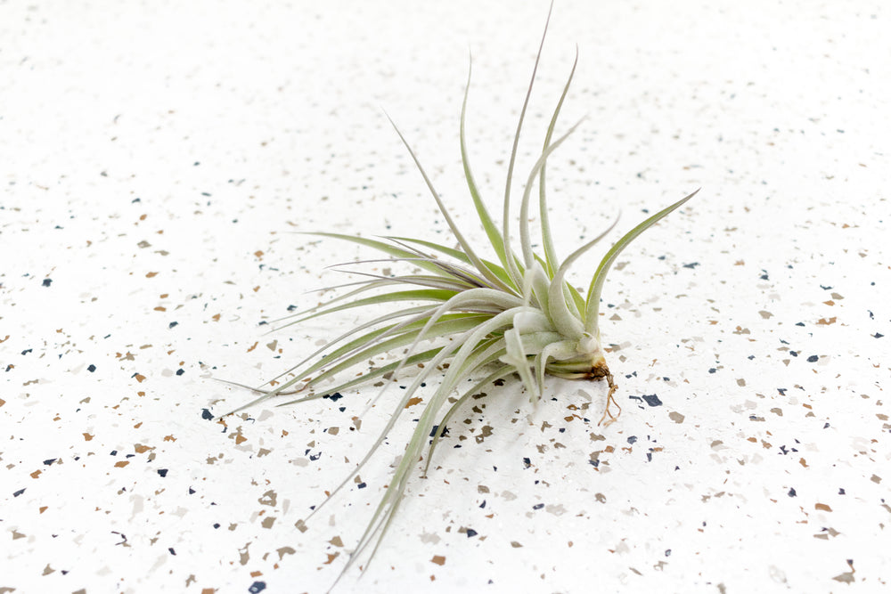 Tillandsia Stricta Hybrid Air Plants