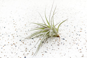 Wholesale - Tillandsia Stricta Hybrid Air Plants