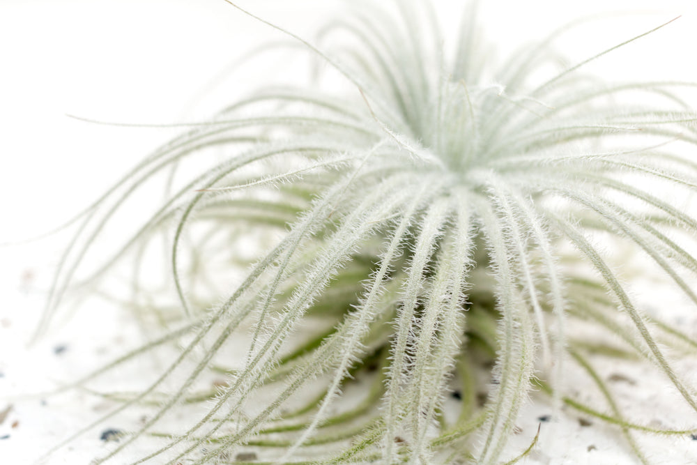 Pack of 3, 6 or 9 Tillandsia Tectorum Ecuador Air Plants - Save Up to 25%