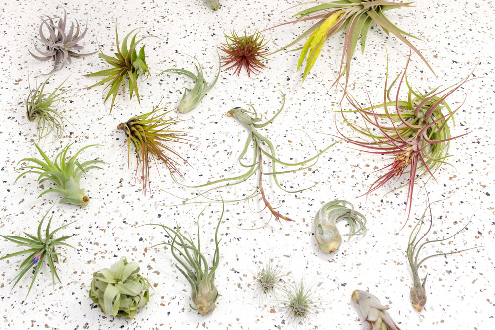 Packs of 3 or 6 Small Cork Bark Slabs with Assorted Air Plants + Waterproof Glue - Save 25%