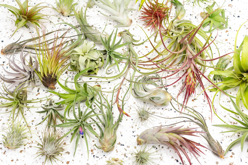 Packs of 10, 20 or 30 - Air Plant Grab Bag of Small, Medium & Large Tillandsias - Save up to 50%