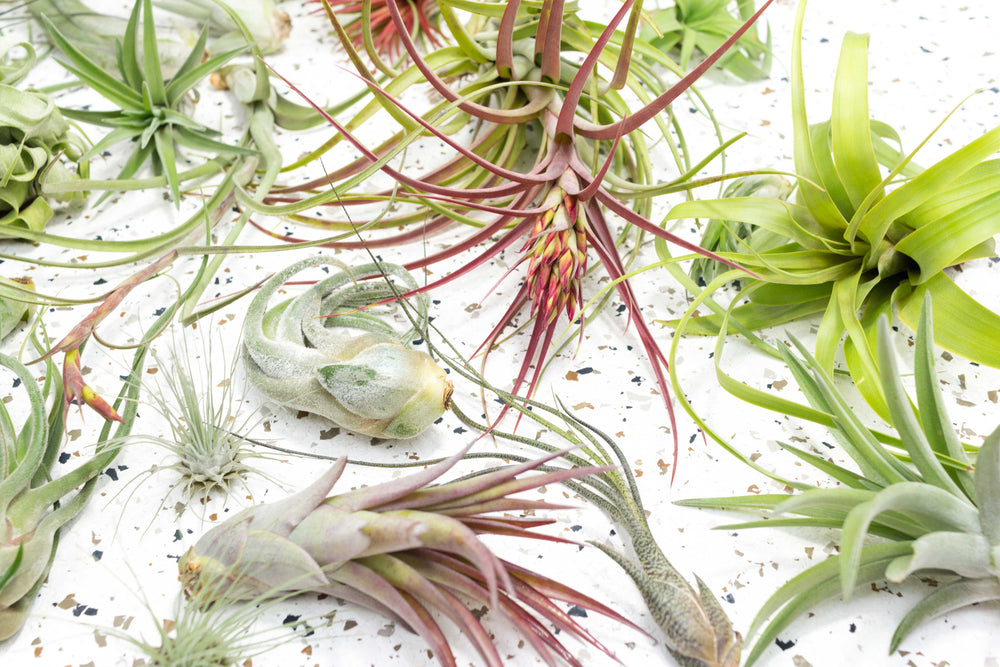 Wholesale - Tillandsia Air Plant Grab Bag of Small, Medium & Large Plants