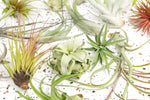 Packs of 12 or 24 - Tillandsia Air Plant Jumbo Assortment - Save 40%