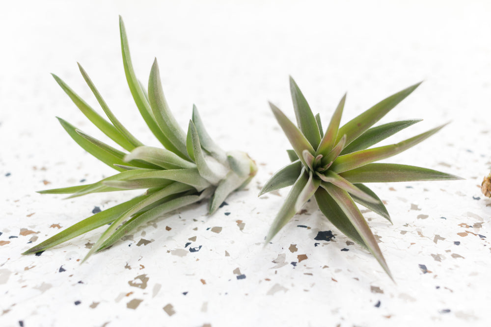 Wholesale - Classic Tillandsia Air Plant Variety