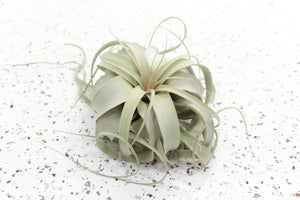 Pack of 3 or 6 Tillandsia Xerographica - Save Up to 45%