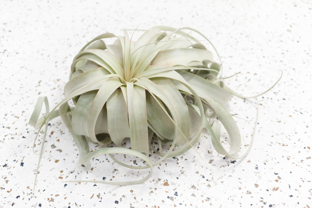 Wholesale - Storefront Starter Pack - Set of 33 Medium-Large Tillandsia Air Plants