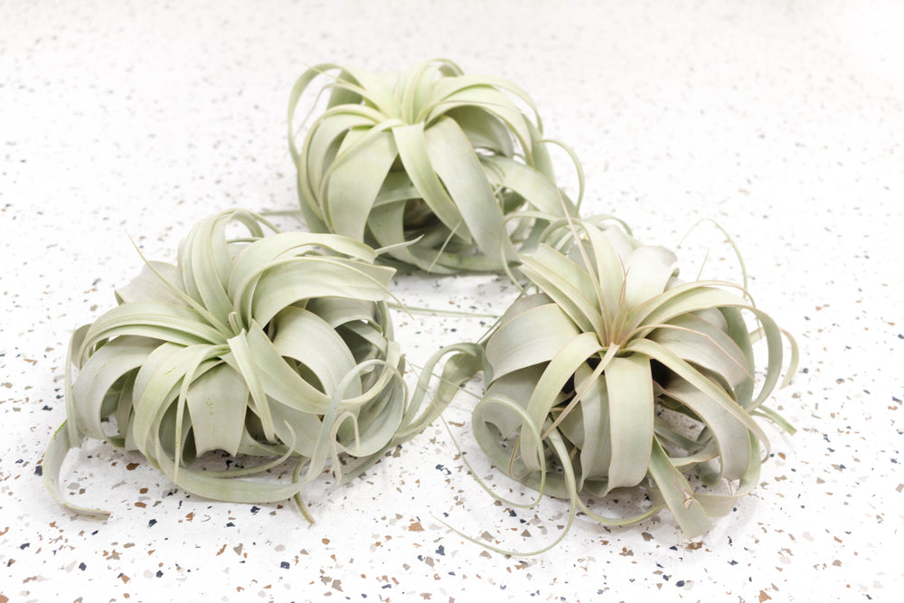 Medium Tillandsia Xerographica - 3 for $30 Special - Limited Time