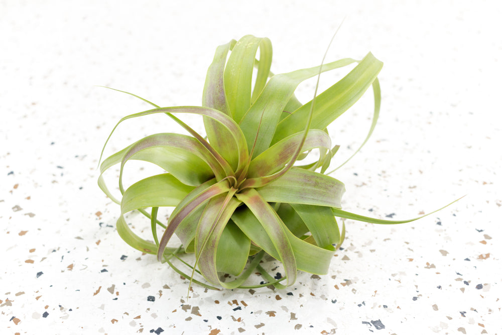Air Plant Combination of 6 Plants with Round Shape