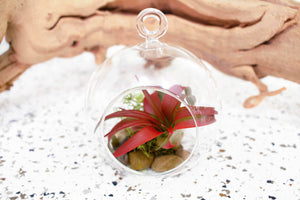 3 Stunning Air Plant Terrariums  with Red Abdita - Complete with Stones, Moss and Vibrant Air Plants
