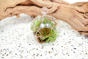 Wholesale - Stunning Flat Bottom Globe Glass Terrariums with 2 Air Plants Each. Includes Red Abdita, Moss and Stones