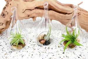 3 Teardrop Air Plant Terrariums - Complete with River Stones and Assorted Small Air Plants
