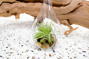 Wholesale - Teardrop Terrariums with River Stones and Assorted Small Air Plants