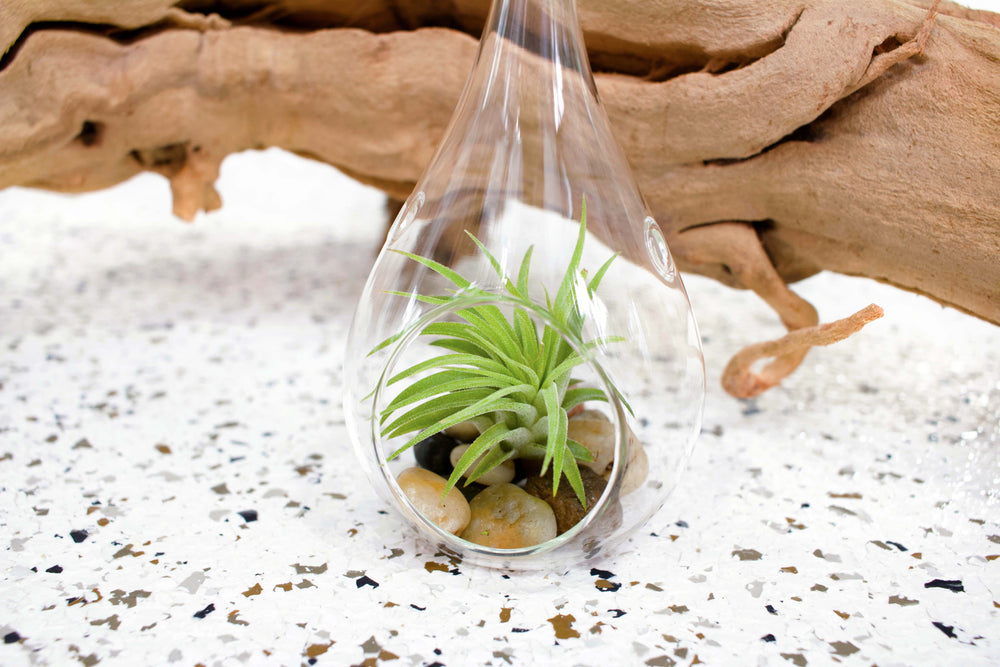 Wholesale - Teardrop Terrariums with River Stones and Ionantha Air Plants