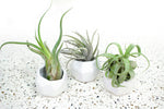 Packs of 3, 6 or 9 White Geometric Ceramic Containers with Large Assorted Air Plants