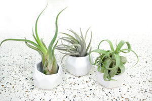 Trio of White Geometric Ceramic Containers with Large Assorted Air Plants