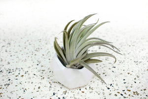 White Geometric Ceramic Container with Large Assorted Air Plant