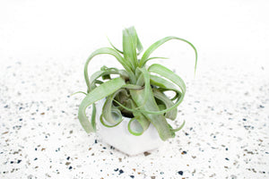 Wholesale - White Geometric Ceramic Air Plant Holder with Assorted Air Plants