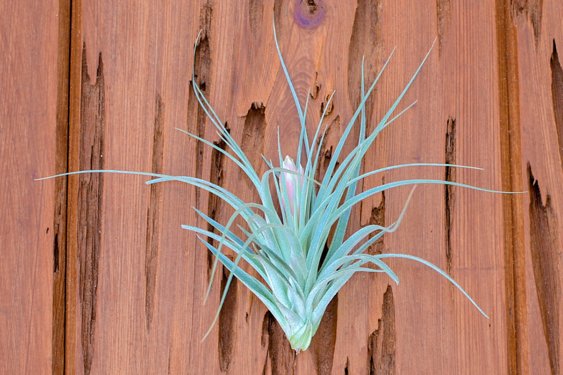 Tillandsia Houston Air Plants