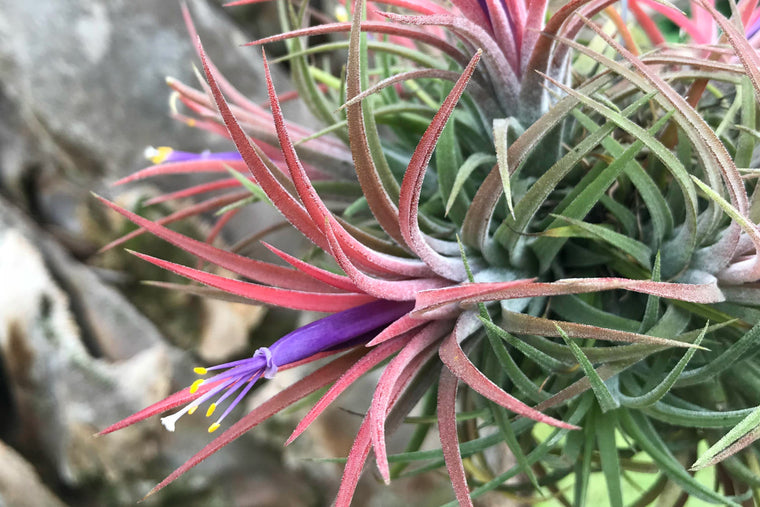 In Bloom & Blush Now - Ionantha Hanging Cluster with Wire Hook