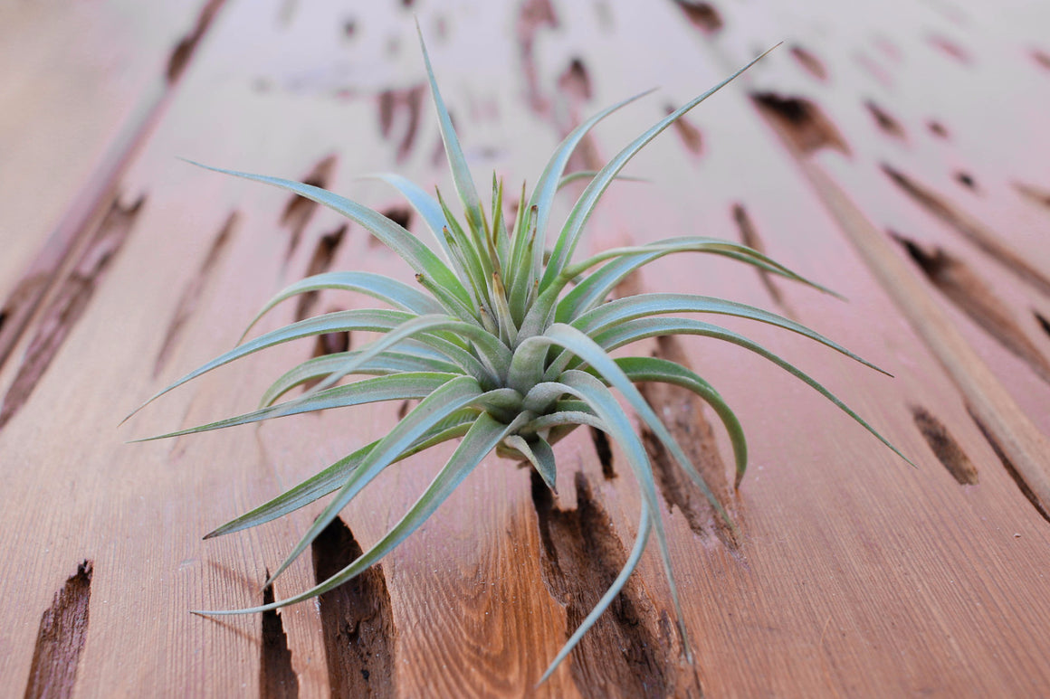 Tillandsia Vernicosa Air Plants