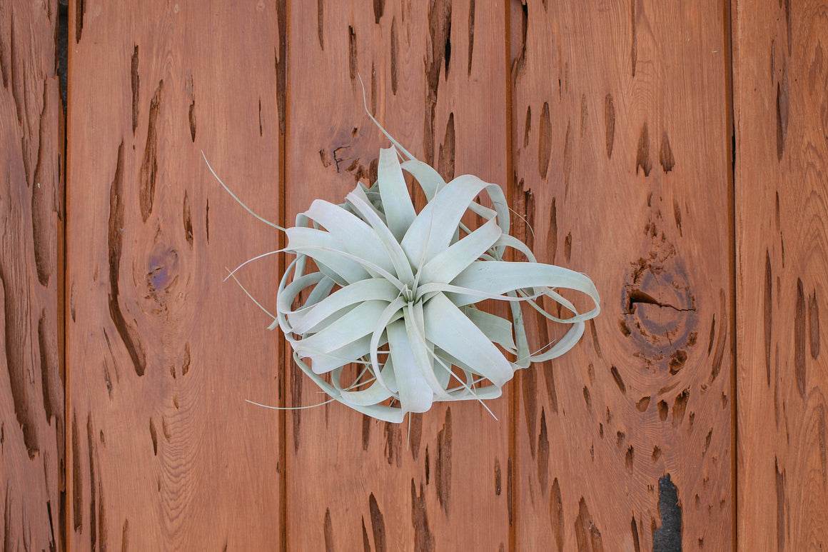 Wholesale - Rustic Grapewood Branch with a Tillandsia Xerographica Air Plant