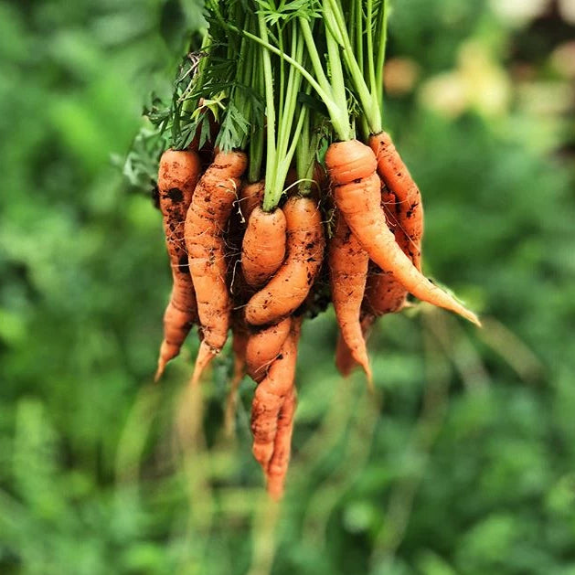 Bulk Carrots By Pound