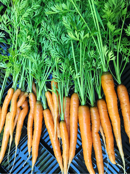 Carrots, with tops