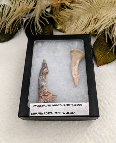 Prehistoric Fossilized Saw Fish Teeth