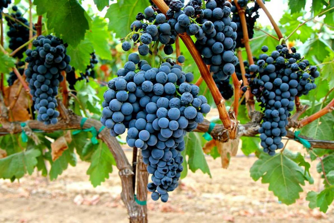 Portuguese Grapes Take Root in California