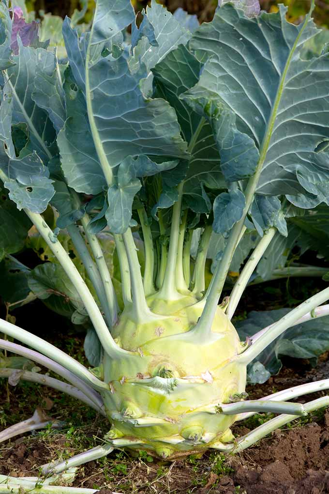 Kohlrabi? More like KOOLrabi!
