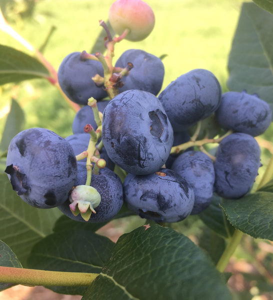 The Blueberriest Blueberries.