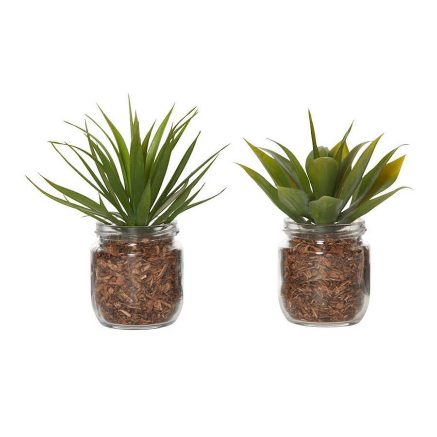Plants Rogue Agaves in Jars, Set of 2