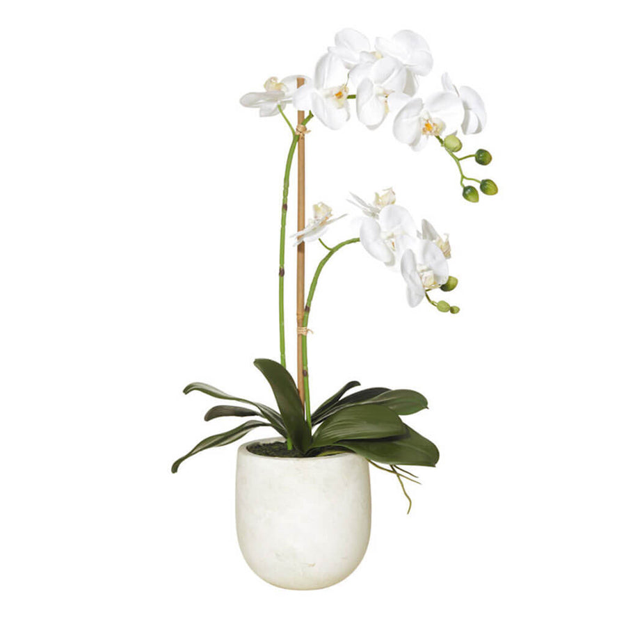 Plants Rogue Medium Butterfly Orchid   Round Pot (2 stems) 73.553.01WH