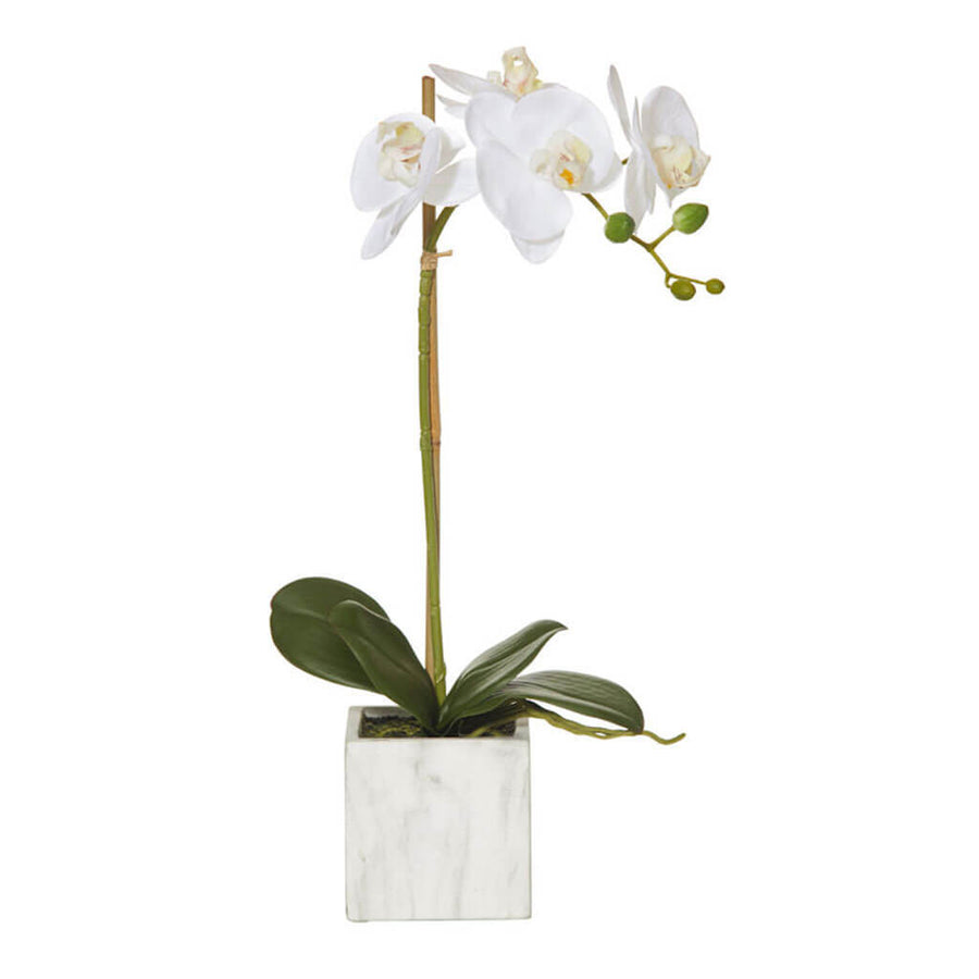 Plants Rogue Small Butterfly Orchid   Square Pot (1 stem) 73.547.01WH