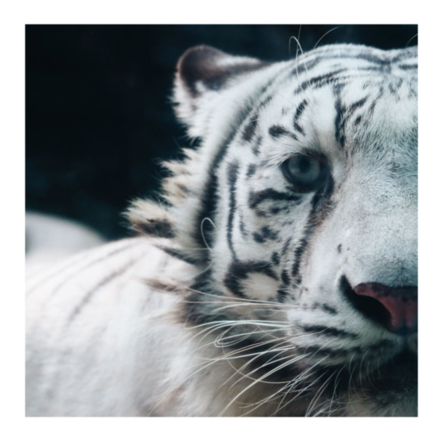 Untitled Reignbow Tiger Photo Print