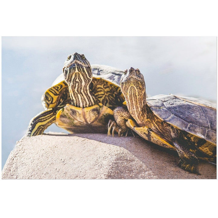 Turtle Couple | Acrylic Print