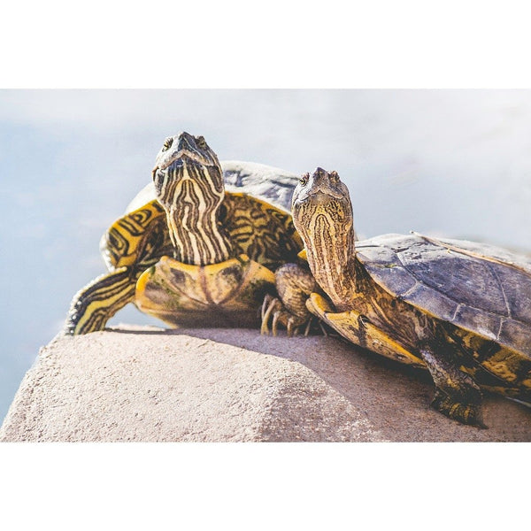 Turtle Couple | Metallic Print
