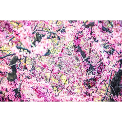 Spring Blossoms | Metallic Print