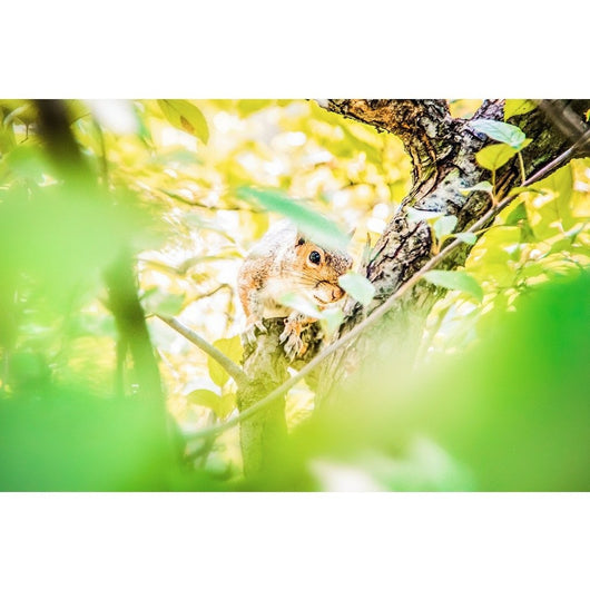 Baby Squirrel | Metallic Print