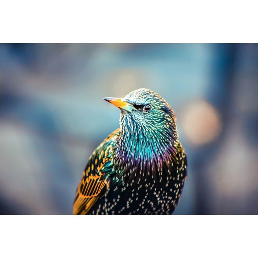 European Starling | Metallic Print
