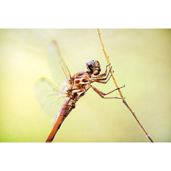 Metallic Dragonfly | Metallic Print